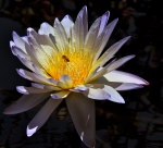 Honeybee and the Water Lily