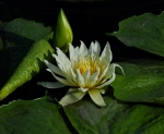 Purity in White and Green - Water Lilies