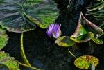 Water Lilies - Kaleidoscope of Color
