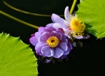 Water Lilies After Rain